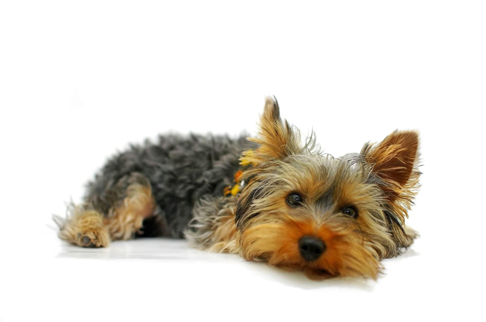 Pension distincte pour petits chiens